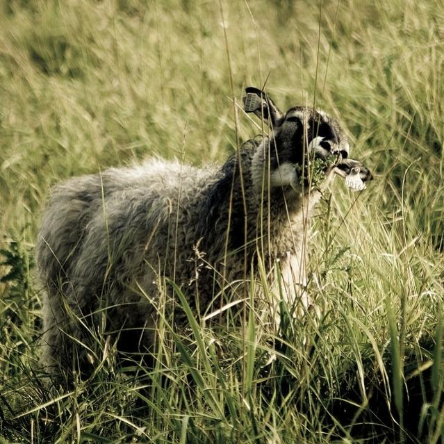 Tutkimusten mukaan suomalaiset lampaat ovat pysyneet geneettisesti melko muuttumattomina rautakaudelta saakka. Kuva: Anssi Koskinen/Flickr CC.