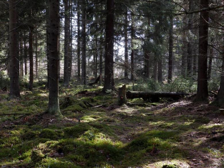 Maapallon havupuuvyöhykkeellä maaperä on luonnostaa hapanta. Kuva: Ulla Moilanen