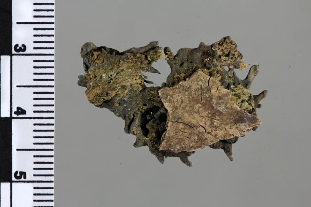 Yksi isoimmista pronssimurkuloista kallon luun päälle sulaneena. Kuva: J. Mujunen.