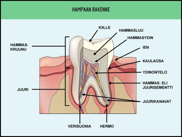 Hampaan rakenne