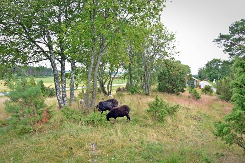 Lampaat muinaisjäännöksen hoitajina Untamalan Myllymäellä. Kuva: U. Moilanen.