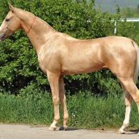 Kiinan kultainen hevonen − DNA-tutkimuksella tietoa muinaisten hevosten värityksestä