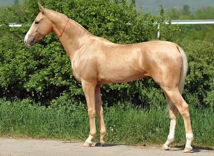 Keskiaasialaiset hevoset tunnettiin Kiinassa taivaallisina hevosina, jotka olivat silkkitien kalleimpiin kuuluneita kauppatavaroita. Kuvassa turkemnistanilainen akhaltekinhevonen, joka tunnetaan metallinhohtoisesta väristään. Keskiaasialaisista kultaisista hevosista on kerrottu tarinoita myös antiikin Kreikassa. Kuva: Peter Morgan/Flickr CC.