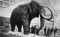 Täytettyä mammuttia esitellään Pietarissa vuonna 1860.