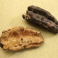 Muinais-DNA:ta kivikautisesta purupihkasta