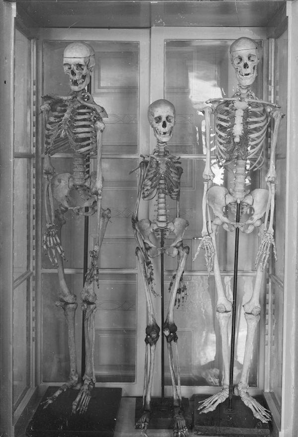 Anatomian laitoksen luurankoja. Kuva: Pietinen, k.Anatomianlaitos, luurankoja