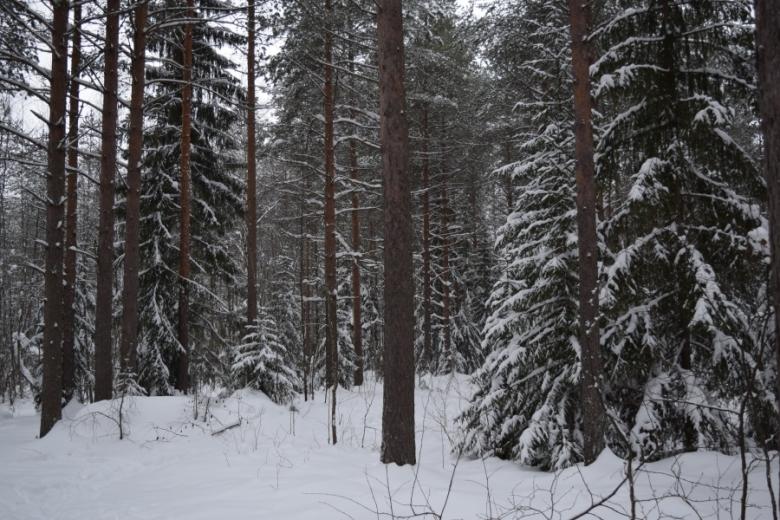 Kuvassa on luminen metsä.